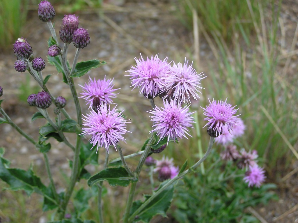 Noxious weeds town of mountain village colorado canada thistle is one weed that you wont miss on your property with its large saw toothed leaves and spiny purple flowers and this creeping perennial is mightylinksfo