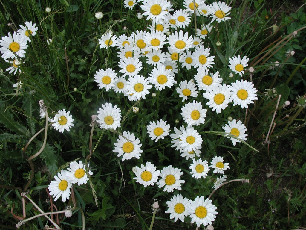 Noxious weeds town of mountain village colorado oxeye daisy dhlflorist Images